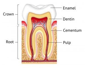 Inner structure of a tooth